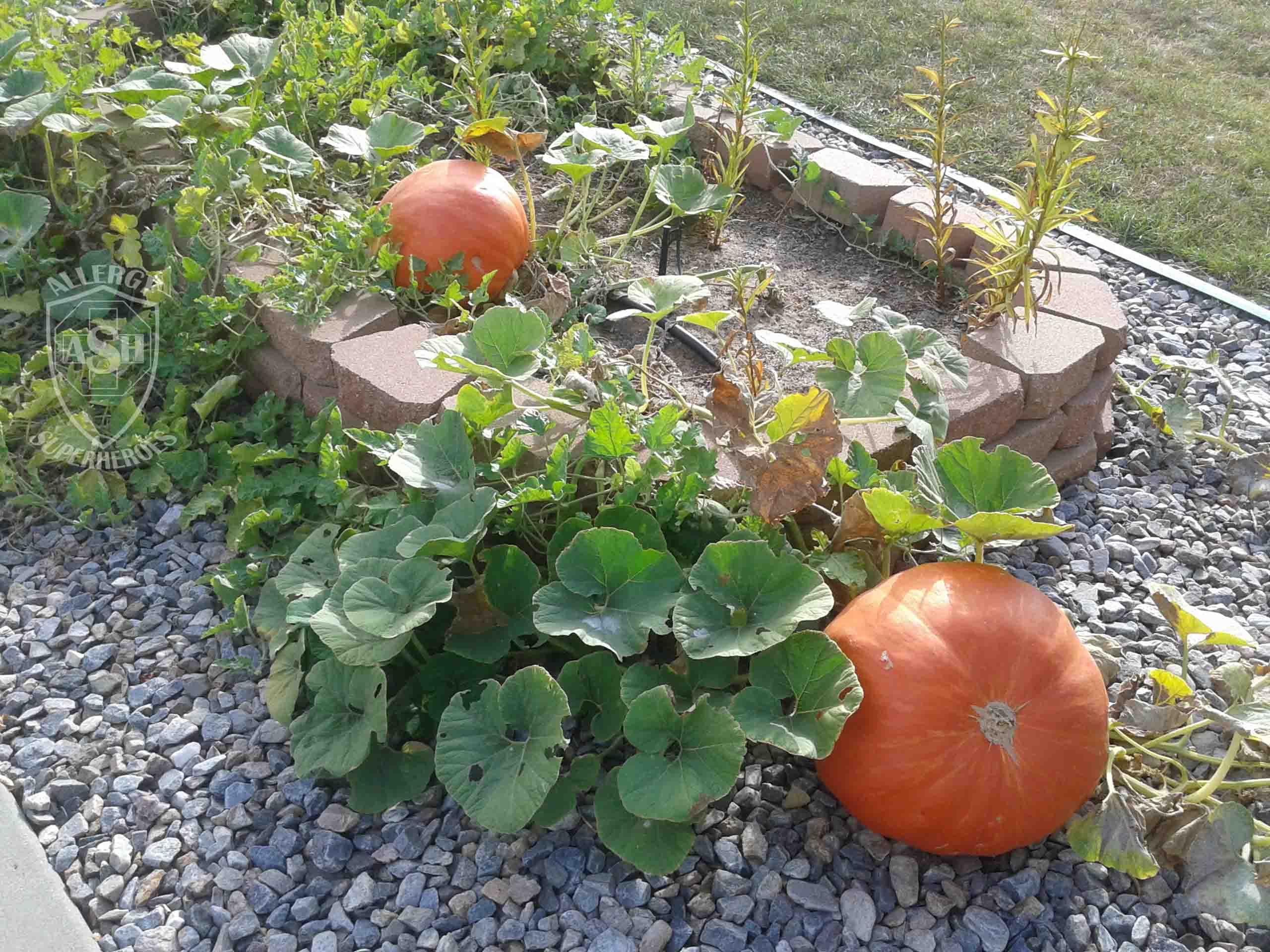 giant-pumpkins-food-allergy-superheroes